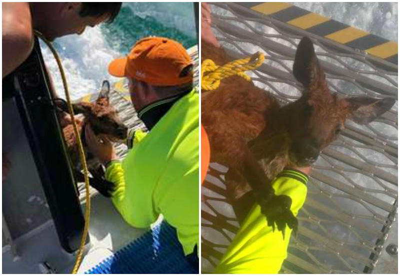 Рыбаки заметили, как в океане бьется беспомощный кенгуру