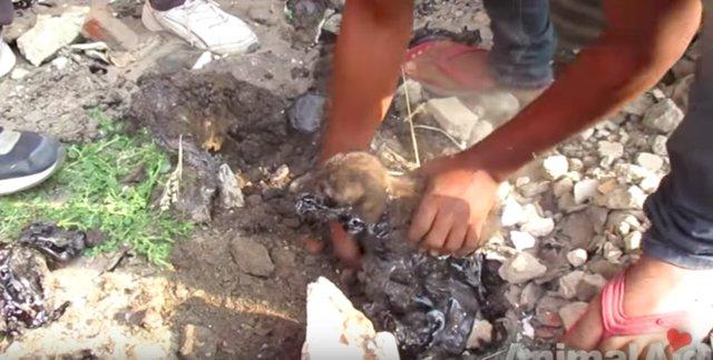 Застрявшие в смоле щенки отчаянно скулили, но помочь им было не просто