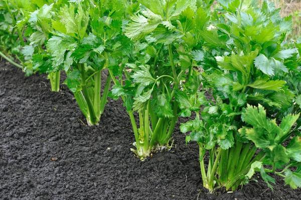 Хрусткие черешки и сочные корнеплоды: учимся выращивать сельдерей на даче