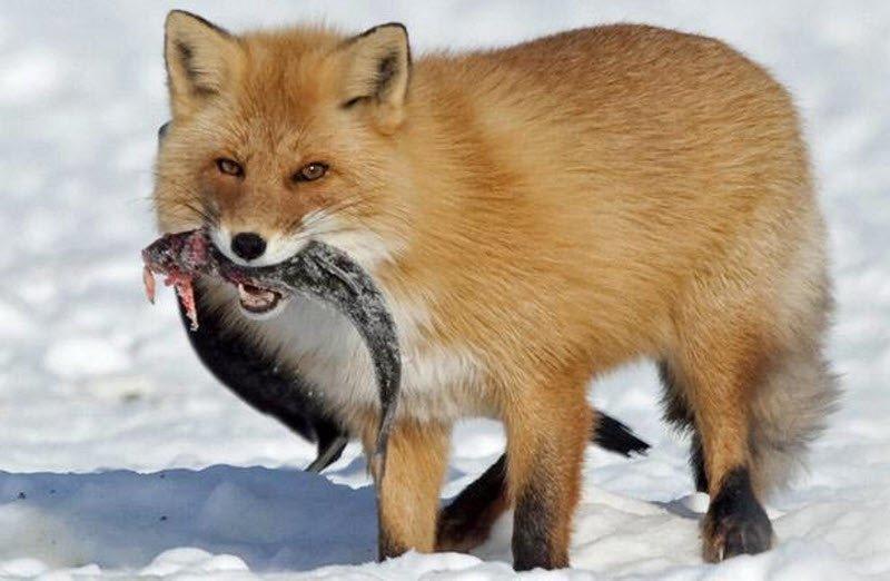Прожорливая лиса выпросила у рыбака из Владивостока весь улов