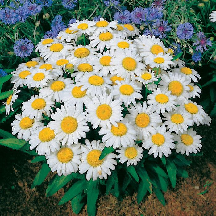 Цветы леукантемум нивяник и