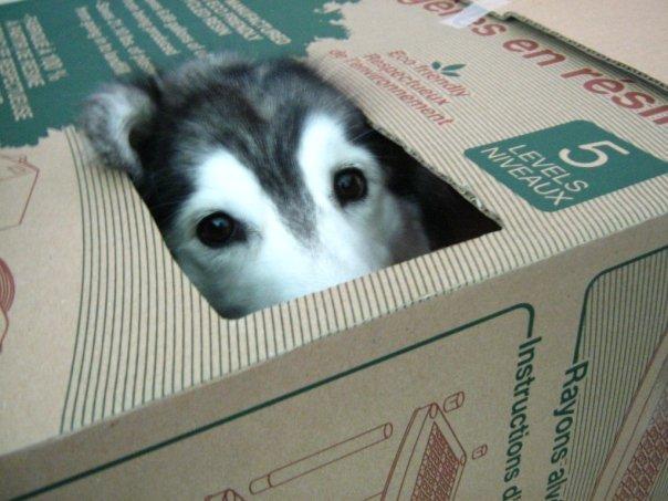 tally-husky-raised-by-cats-4
