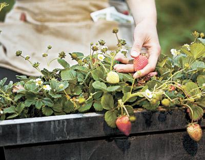 Неотложные работы в земляничнике – залог будущего урожая