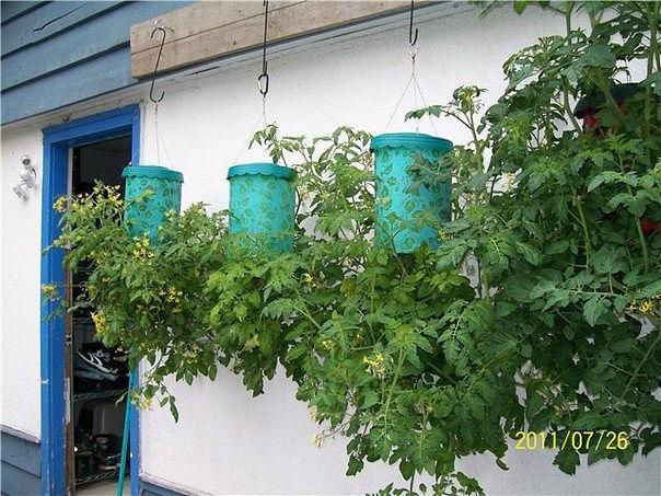 Технология выращивания помидоров (томатов) вниз головой