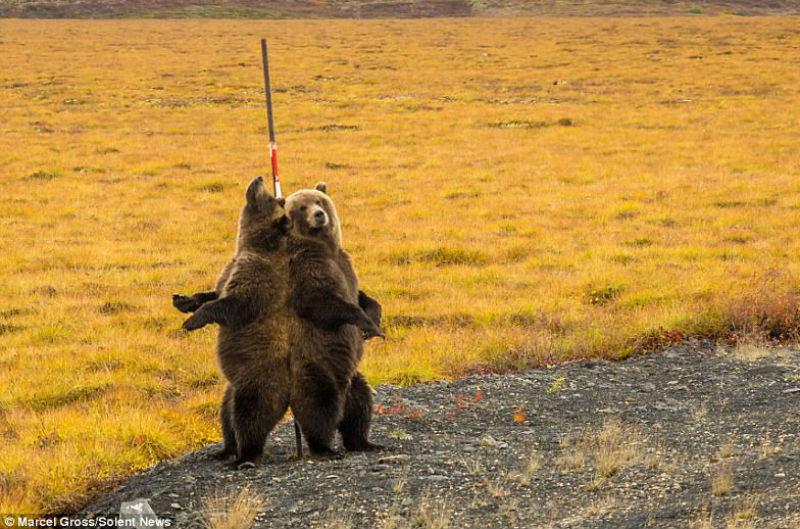Трутся спиной медведи: гризли нашли на обочине дороги идеальный столб, чтобы почесаться