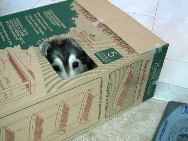tally-husky-raised-by-cats-3