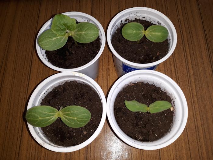 Выращиваем арбуз и дыню