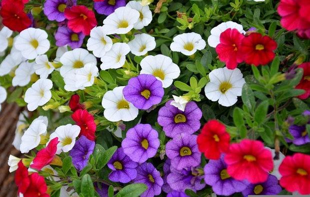 Чем подкормить для обильного цветения петунию