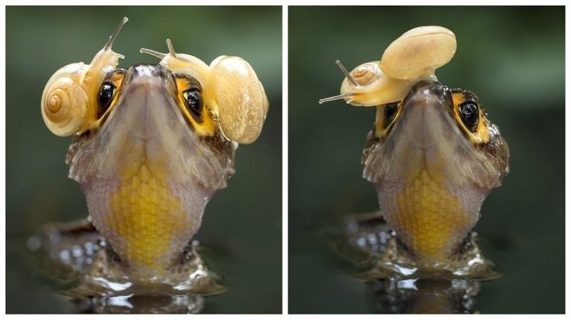 Крок-н-ролл: крокодил надел наушники из улиток