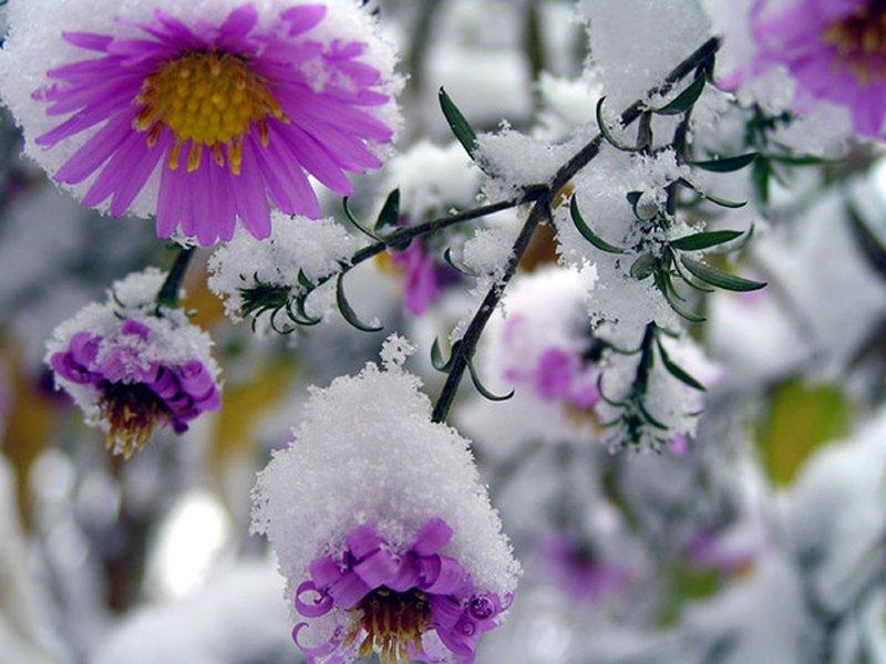 Осенние цветы под снегом