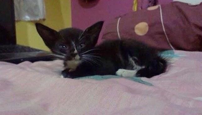 Семья спасла юную кошечку с ушами, как у летучей мыши, и вырастила из неё прекрасную леди Смокинг