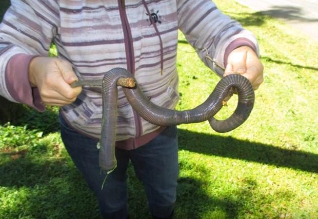 В Австралии нашли огромного земляного червя
