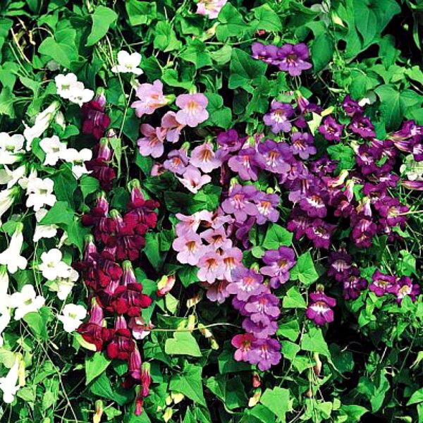 """Азарина: альтернатива """"вьюнкам"""". Крупный размер и цветение с июня по сентябрь 🌺"""