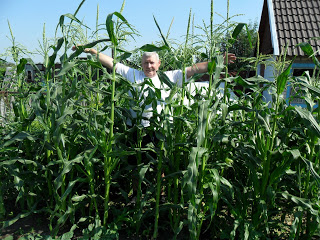 Кукурузу сажают вместе с