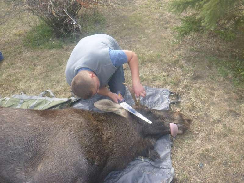 В Киев по Днепру приплыл взрослый лось — и вот что с ним сделали