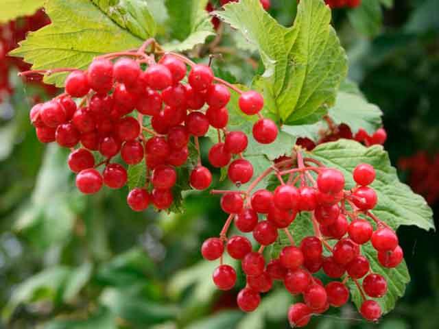 Лекарственные свойства калины красной