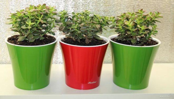 Комнатное растение «Толстянка» (Денежное дерево): как ухаживать в домашних условиях