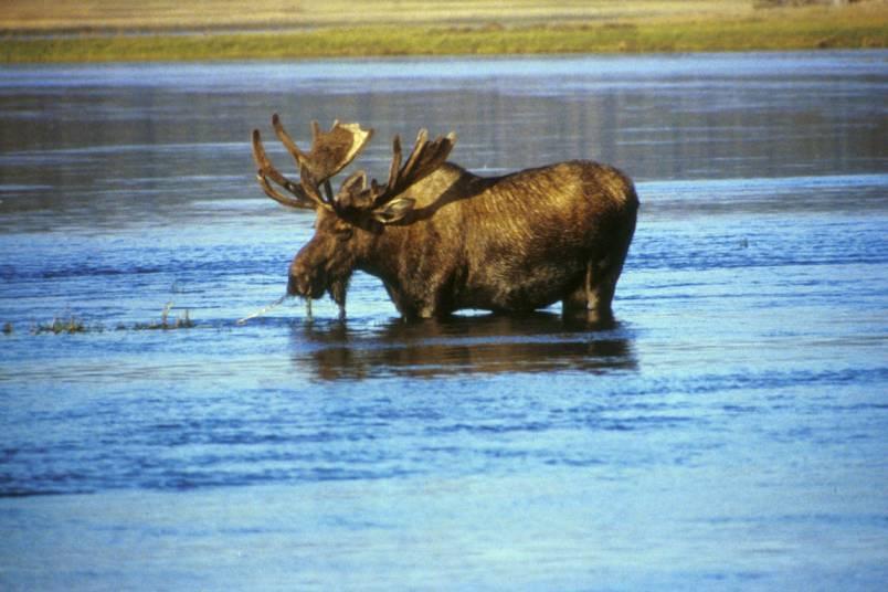 Охоту на лосей и оленей в Мурманской области запретят
