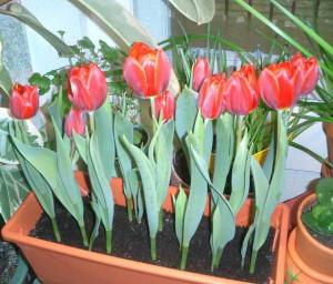 Выращивание тюльпанов и их выгонка