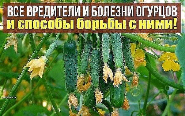 Болезни и вредители огурцов