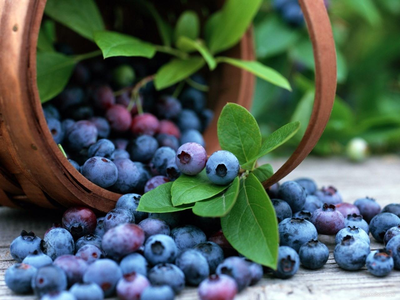 Выращивание голубики на даче — секреты и советы