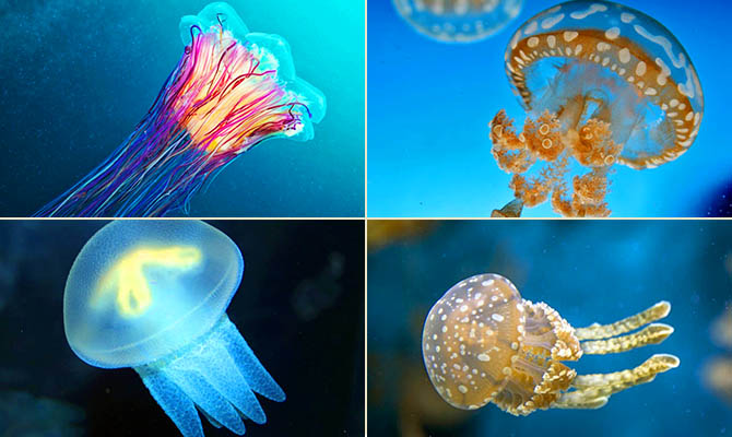 Интересные факты о медузах + Видео