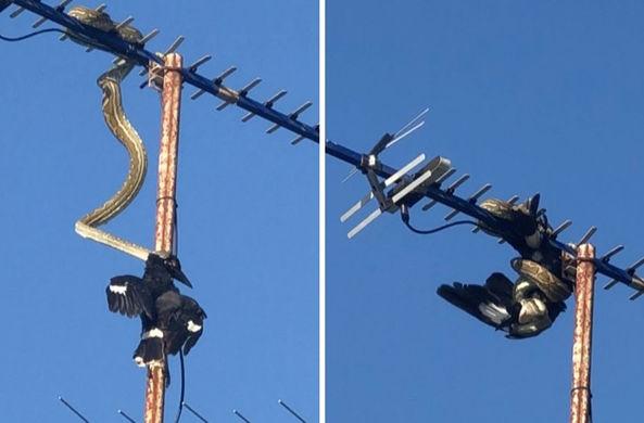 Питон забрался на антенну и поймал птицу