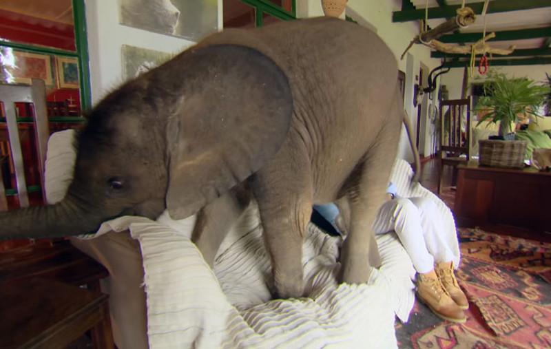 Сейчас Мойо 14 месяцев, и она все еще преследует маму повсюду, не осознавая того, насколько большой она стала... животные, слоненок