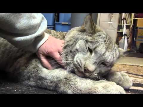 Даже самые большие кошечки любят ласку: работник зоопарка гладит опасную рысь…