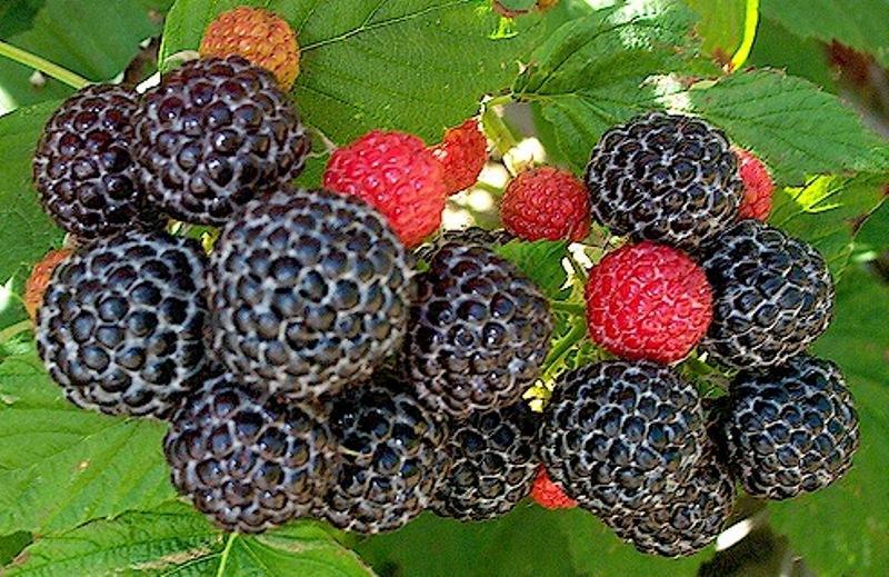 Выращиваем малину: почва, полив, подкормки