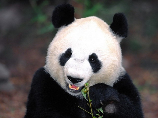 Как накормить игривую панду витаминами?