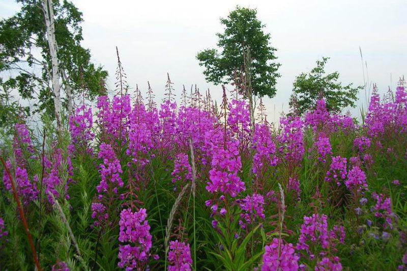 Чудо-растение Иван-чай и его целебные свойства