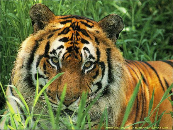 День тигра и «тигровая мазь». История вьетнамской «Звёздочки»