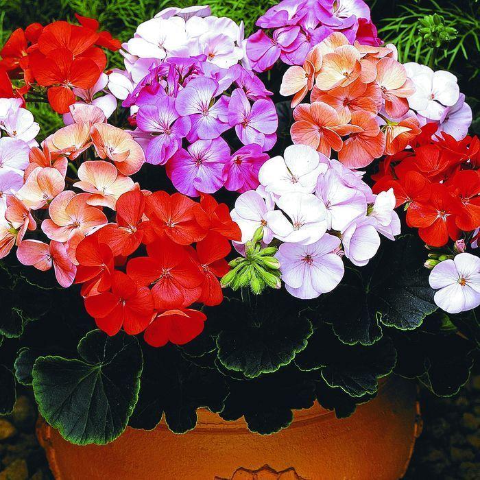 Чтобы герань всегда радовала цветением...