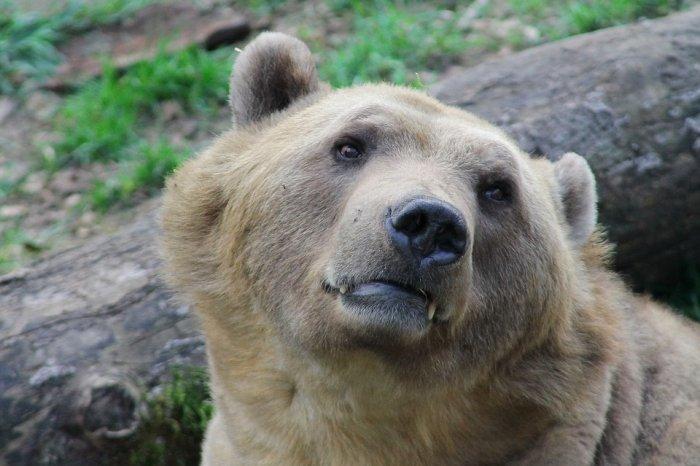 Медведь сбежал из Латвии в Россию