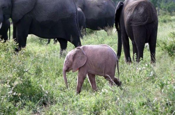 В Африке родился розовый слон
