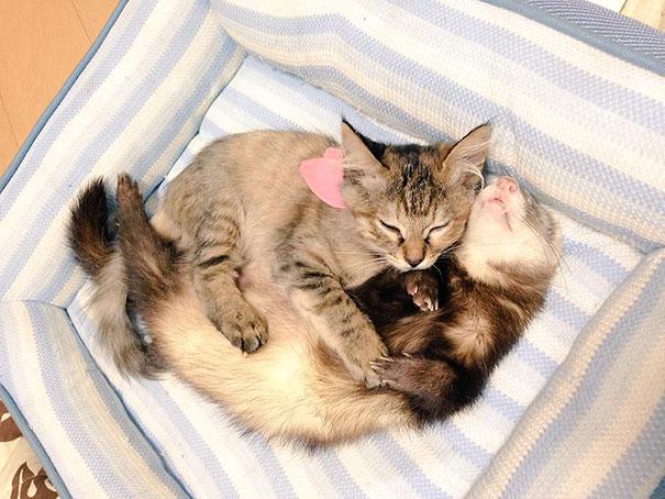 """Какая милота, прям насмотреться не могу! Вот что бывает, когда хорьки """"усыновляют"""" котенка!"""