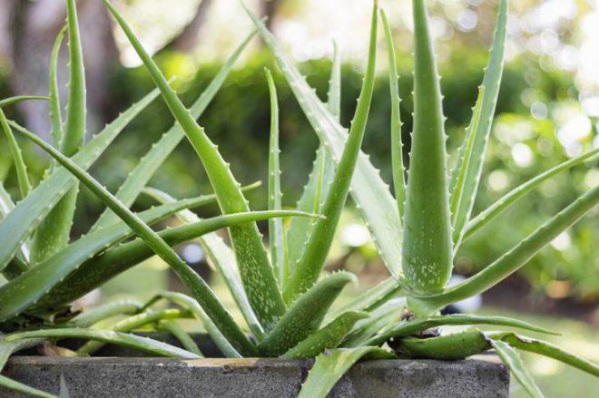 9 растений, которые выделяют…