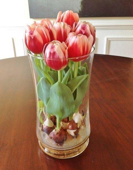 Выращивать красивые тюльпаны можно дома!