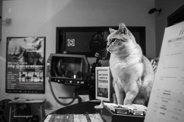 12. Фульвио в кинотеатре домашние животные, коты, кошка, кошка в магазине, кошки, фотопроект, черно-белая фотография, черно-белое фото