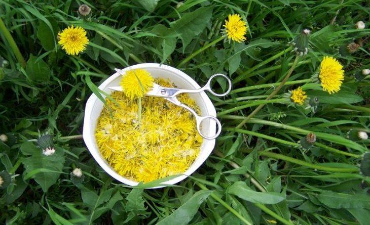 Желтый женьшень — польза одуванчика