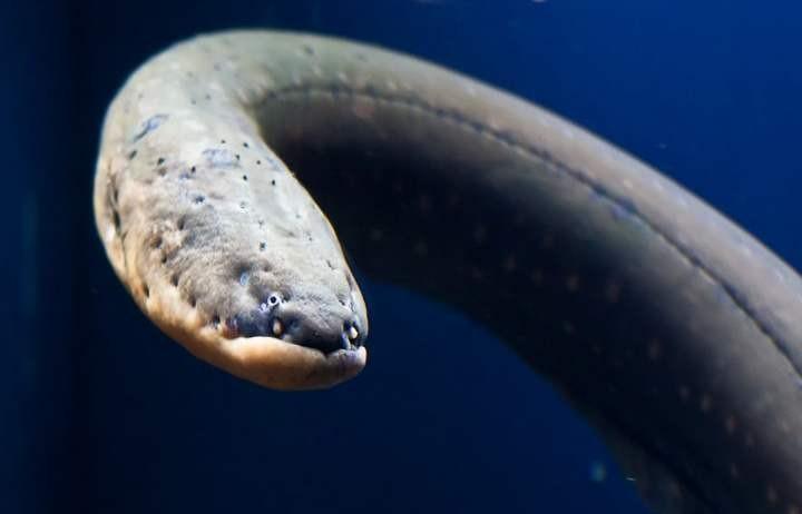 Самые опасные рыбы… (5 фото)