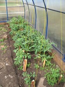 Огородные страсти. Подвязываем томаты и удаляем пасынки