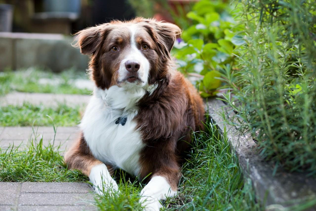 Бордер колли, фото породы собаки фотография картинка
