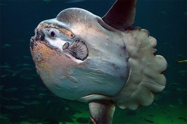 Занимательные факты о рыбе-луне