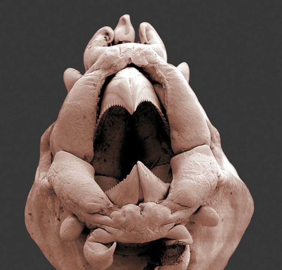 15udivitelnixsozdanii 3 15 удивительных созданий которых не разглядеть без микроскопа