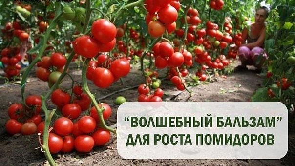 И опять помидоры