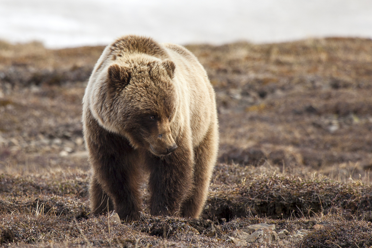 США. Аляска. Прогулка по Национальному парку Денали. (NPS Photo/Daniel A. Leifheit)