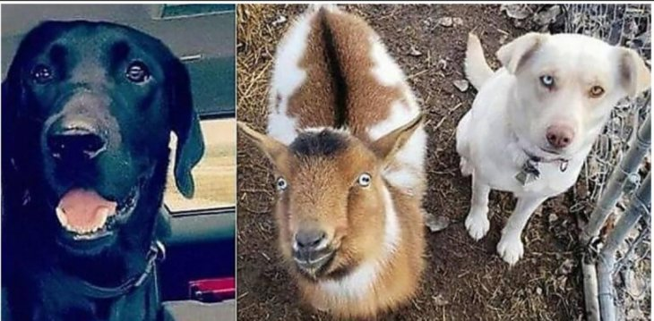 Связался с плохой компанией: Лабрадор пропавший без вести, через сутки вернулся домой с козой и белой собакой