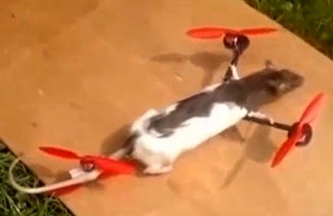 Голландец сделал из любимой крысы вертолет